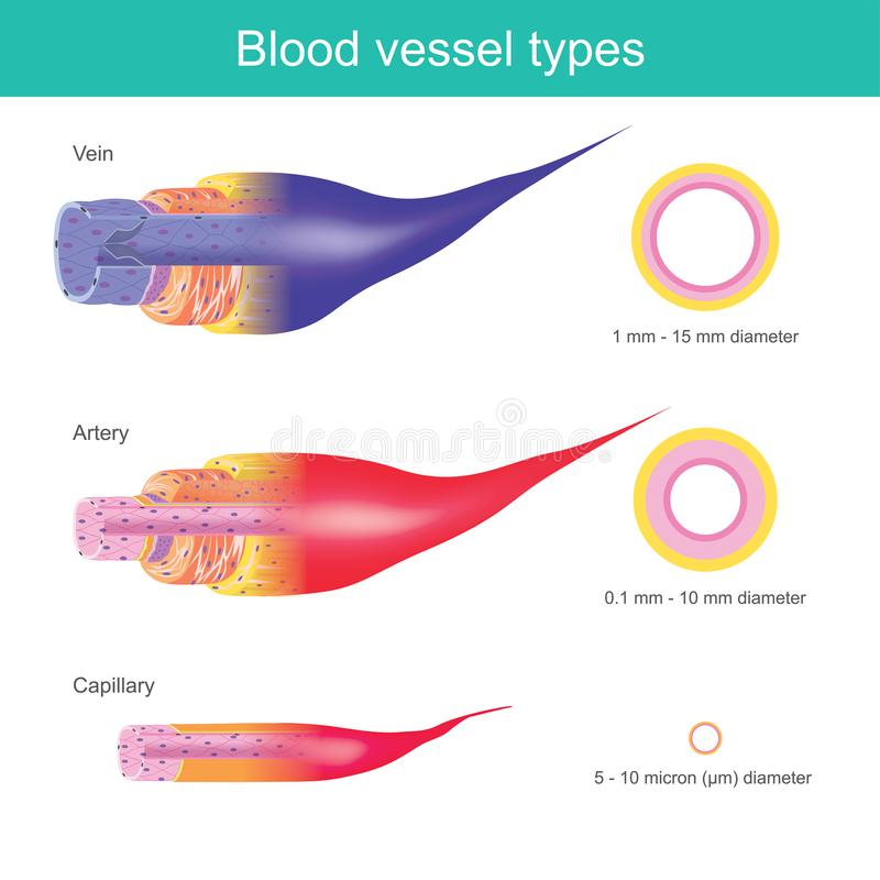 The Blood vessels in the human body are responsible for transporting corpuscle to the organ and throughout the body, These blood stock illustration