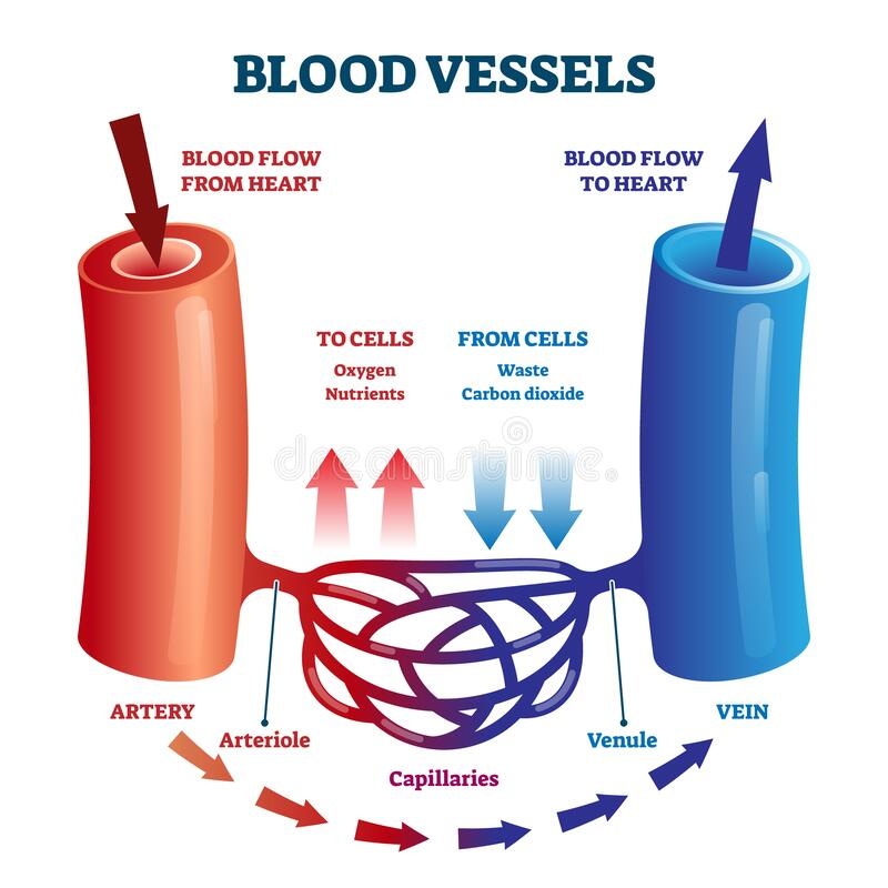 Free Blood Vessels Scheme With Heart And Cells Flow Direction Vector Illustration Stock Photography - 190053682