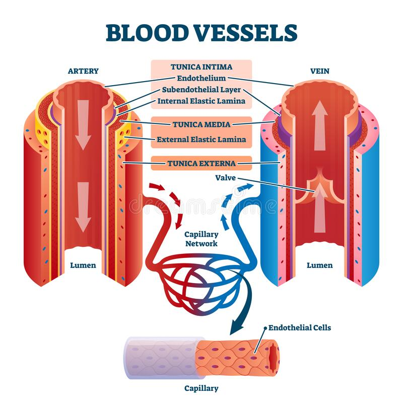 Free Blood Vessels With Artery And Vein Internal Structure Vector Illustration Stock Photos - 190053683
