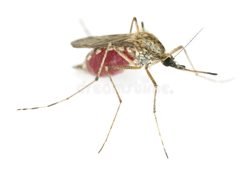 Bloodfilled mosquito isolated on white background stock photos