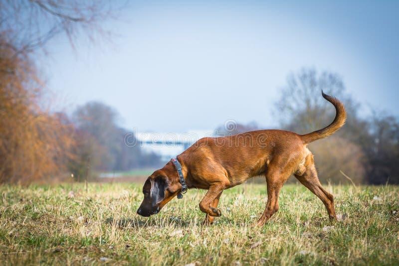 Bloodhound получая нюх стоковые фотографии rf