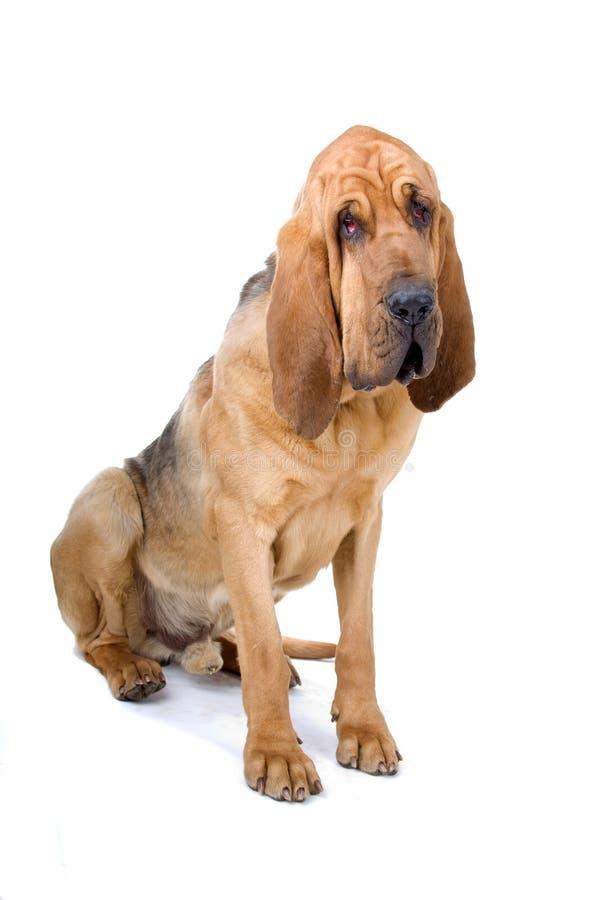 Bloodhound imagem de stock royalty free