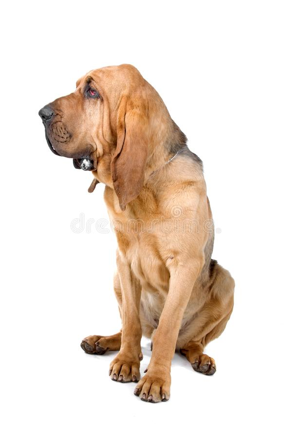 Download Bloodhound stock image. Image of pure, isolated, hound - 14316543
