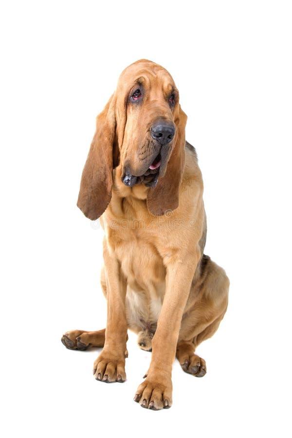 Bloodhound foto de stock royalty free