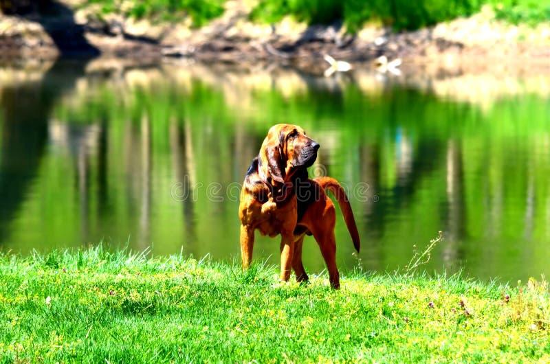 bloodhound royalty-vrije stock afbeeldingen