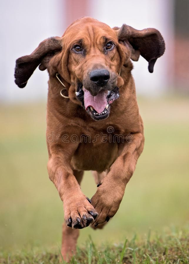 Bloodhound dog running. Straight at camera. Ears are flapping stock image