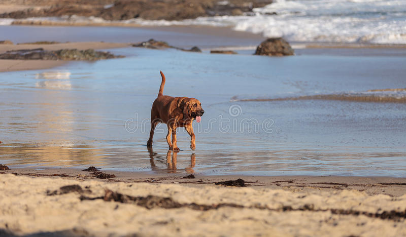Bloodhound dog runs. And plays along a beach in New England, Cape Cod, Massachusetts royalty free stock images