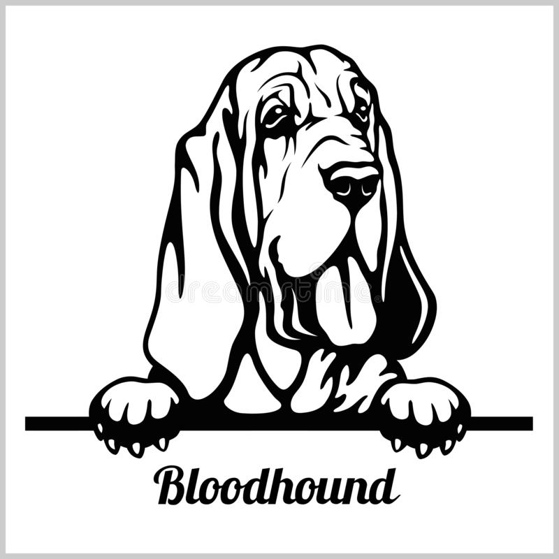 Free Bloodhound - Peeking Dogs - Breed Face Head Isolated On White Stock Images - 143689584