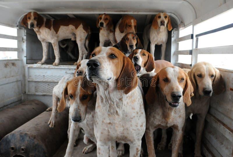 bloodhounds fotografia de stock