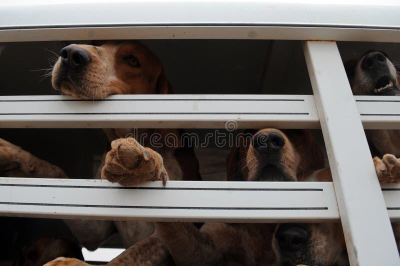 bloodhounds imagem de stock royalty free