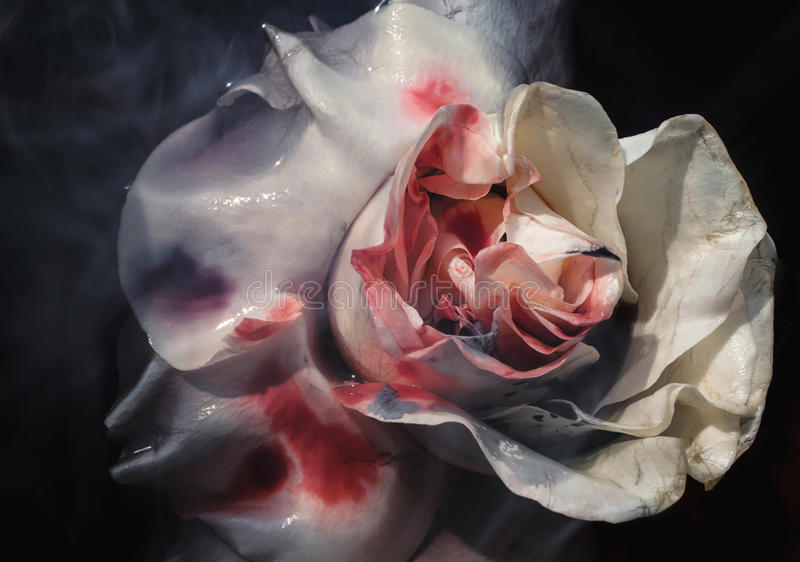 Bloodied wet flower of a withering white rose. Closeup royalty free stock photos