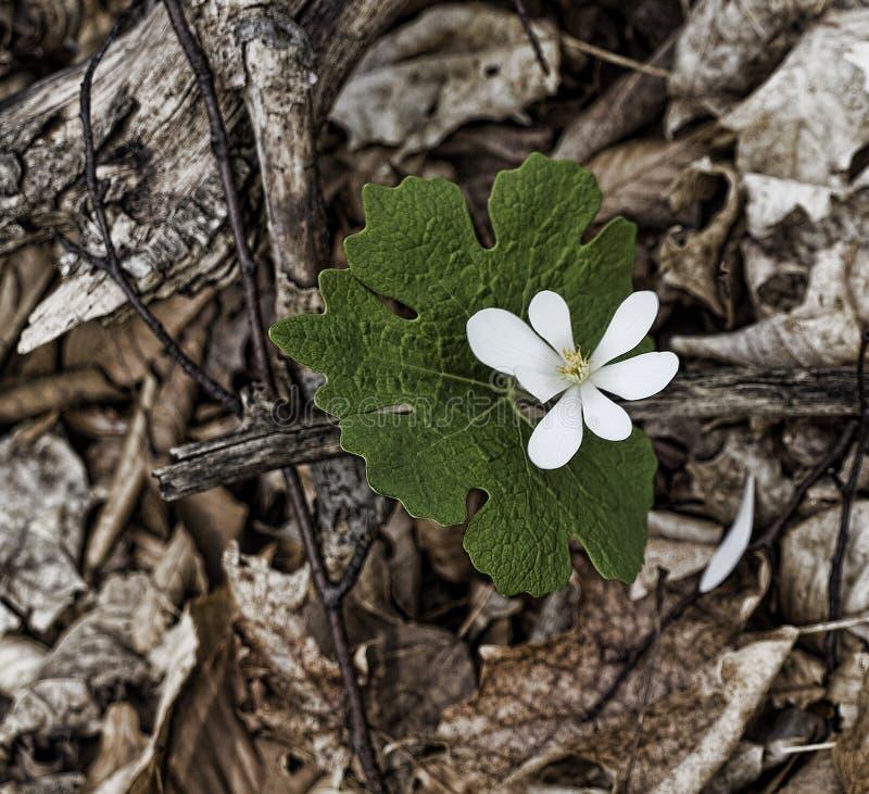 Bloodroot Blossom Stock Photo