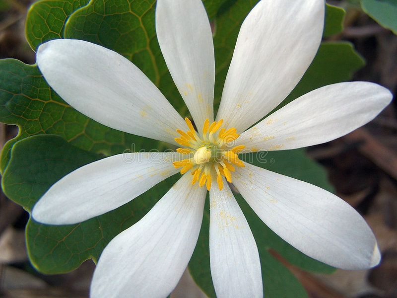 Download Bloodroot flower stock photo. Image of canadensis, white - 718116