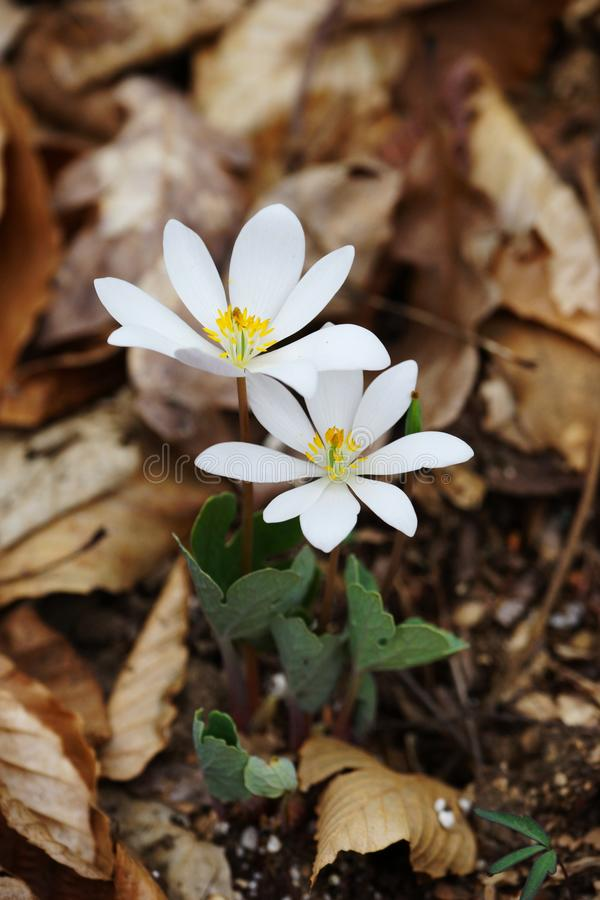 Bloodroot Sanguinaria canadensis - north american spring wildflowers royalty free stock photo