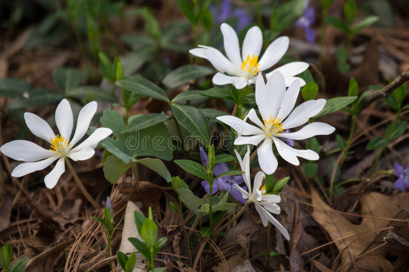Bloodroot - Sanguinaria canadensis. This plant is a perennial nearly 1 ft., tall. It is found in rich woods from Que. to TN. Mar - May royalty free stock photos