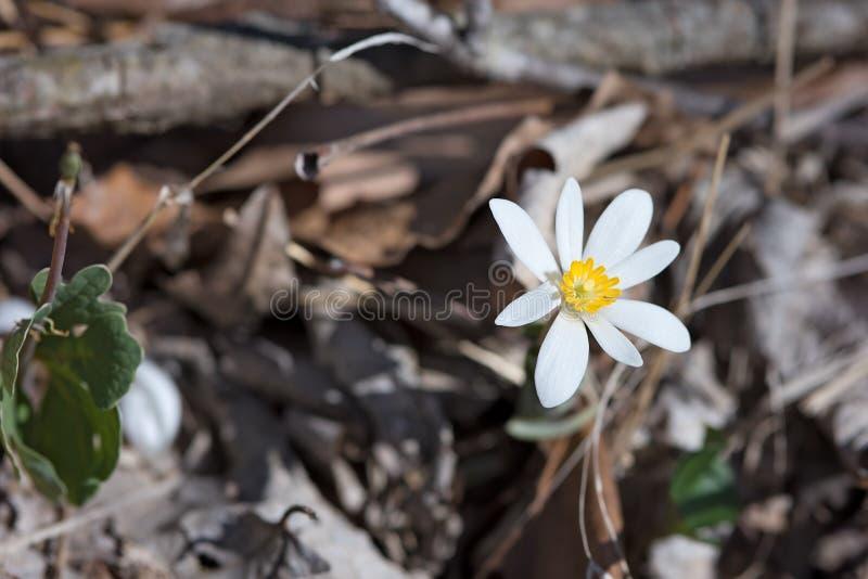 Bloodroot wiosny kwiat w obszarze zalesionym w Missouri zdjęcia royalty free