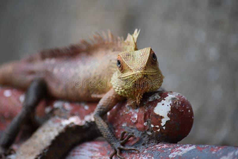 Bloodsucker jaszczurka obraz royalty free