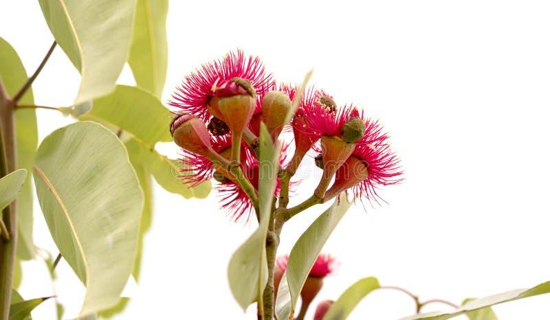 Bloodwood de florescência vermelho do ptychocarpa australiano do eucalipto foto de stock