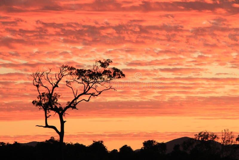 Bloodwoodboom met het gloeien zonsondergang op achtergrond royalty-vrije stock fotografie