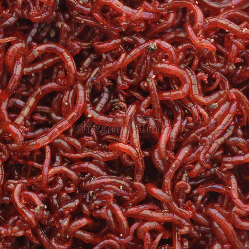 Bloodworms royalty free stock photo