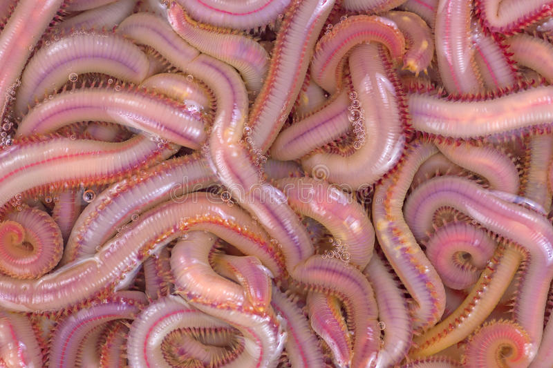 Bloodworms in salt water. A close view of bloodworms in salt water royalty free stock image
