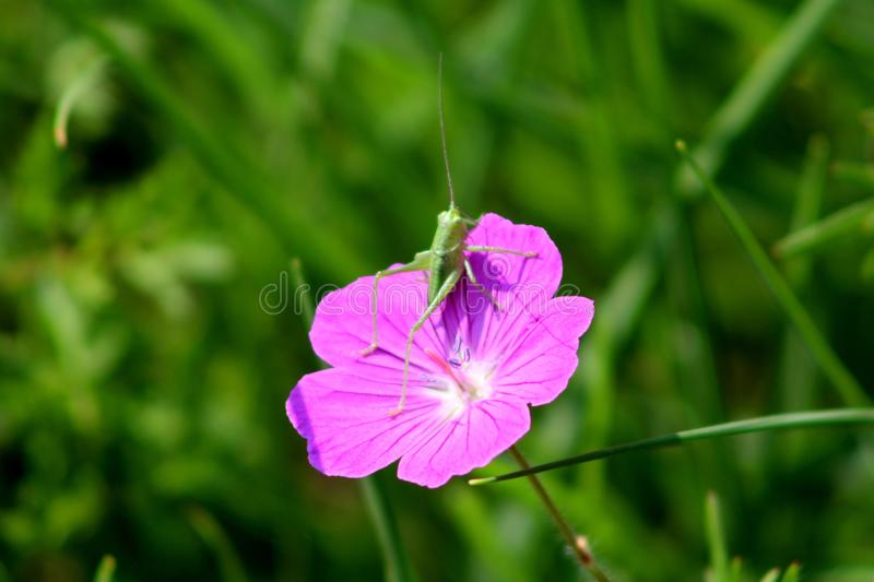 Bloody cranesbill or Geranium sanguineum purple blooming flower with small grasshopper royalty free stock photography