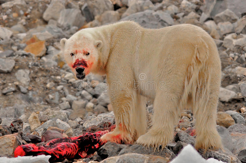 Bloody-faced polar bear with Kill, Spitsbergen, Svalbard, Norway. Bloody-faced polar bear eats the blubber of a barbed seal it has just killed, Spitsbergen royalty free stock photo