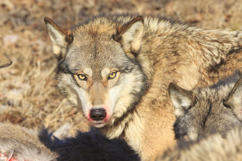 Bloody mane of wolf. Bloody mane of timber wolf feeding on fresh kill stock photos