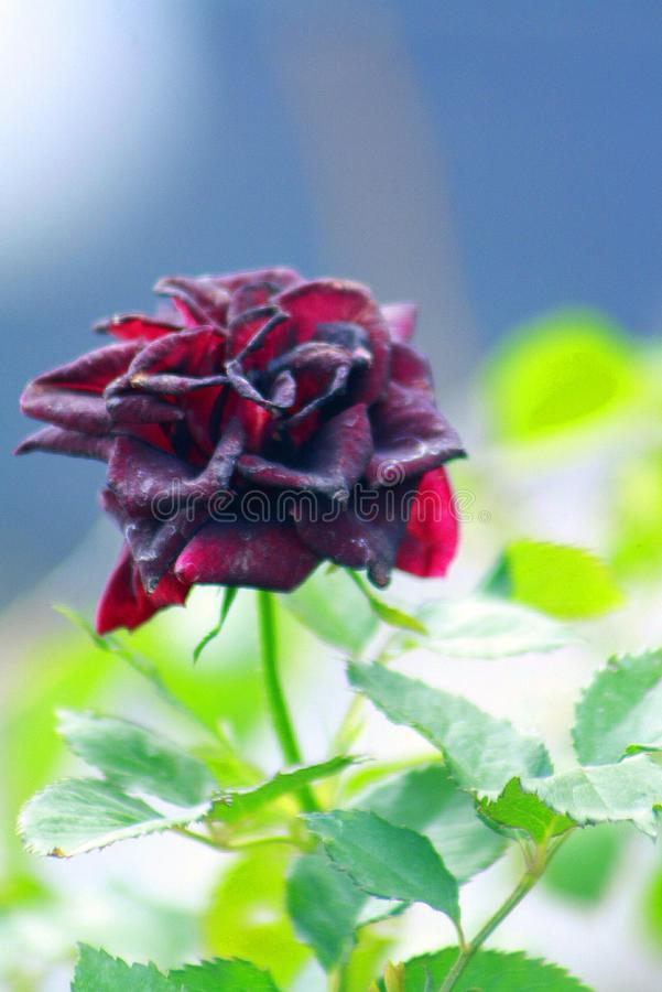 Bloody Red Rose stock photos