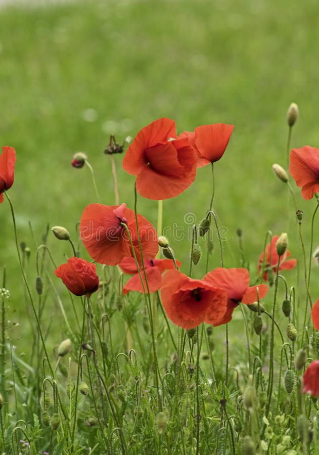 Blooing red poppies on a summer day stock image