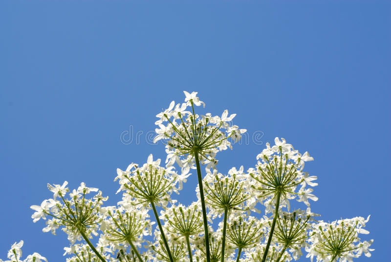 Bloom. Green plant with white flowers on a blue background stock images