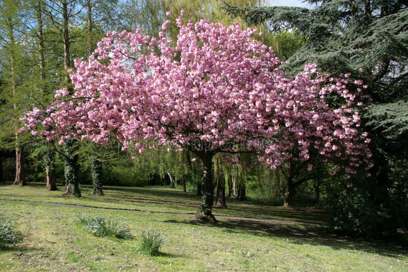 bloom drzewo obrazy royalty free