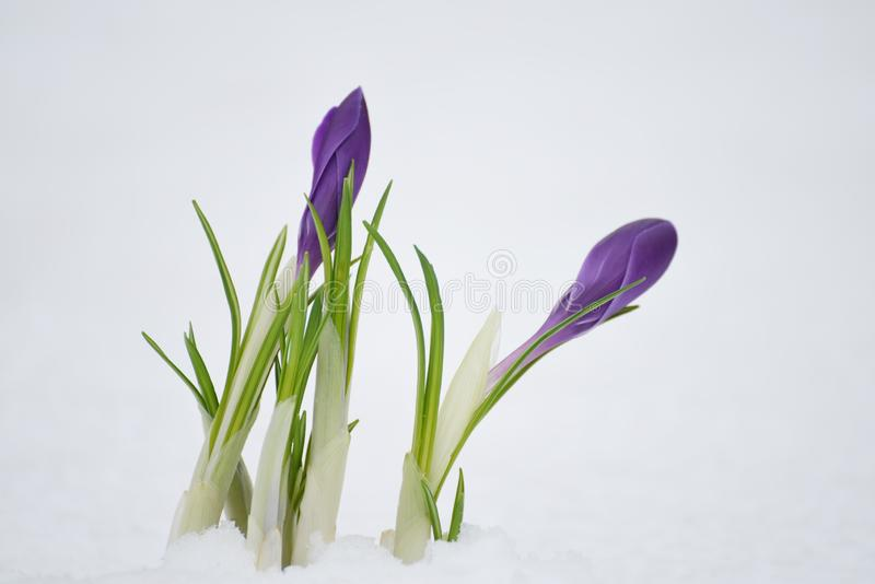 The bloom of the first spring flowers of purple crocuses In the snow..  Close-up. Selective soft focus. stock photos