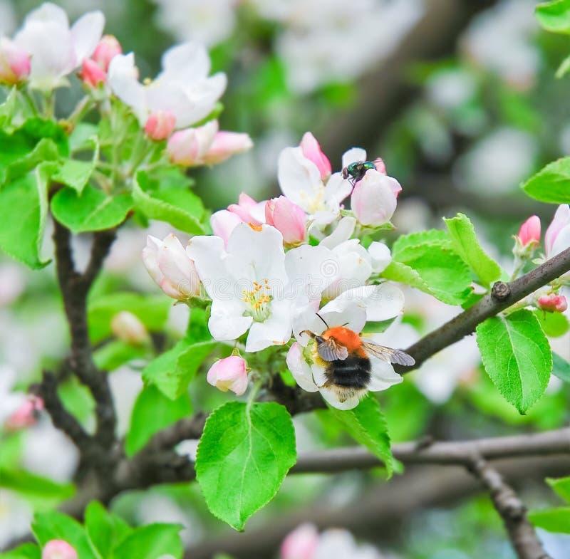 bloom jabłkowy wiosenne drzewo bumblebee kwiatów target121_0_ obraz royalty free
