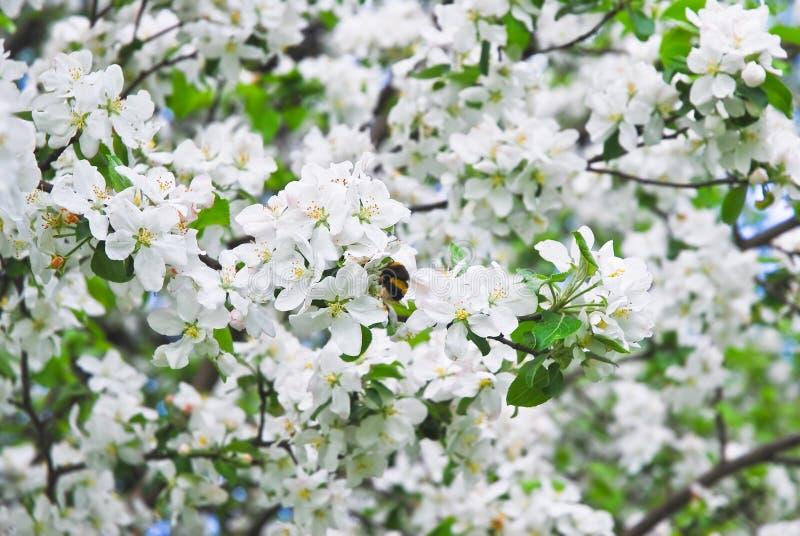 bloom jabłkowy wiosenne drzewo piękne kwiaty, białe obrazy stock