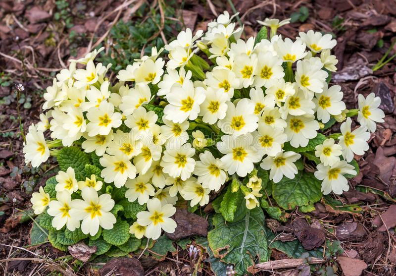 Bloom of light yellow primroses in early spring royalty free stock photos