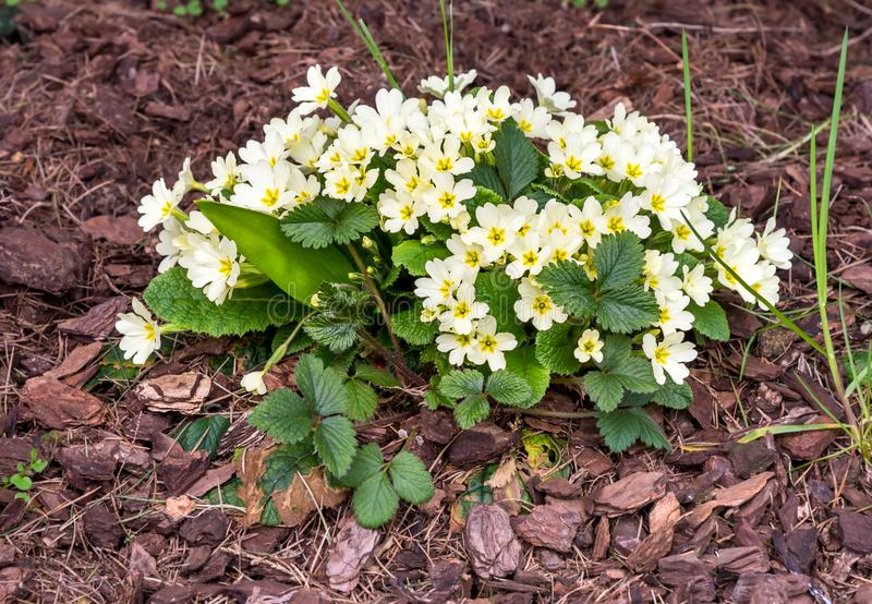 Bloom of light yellow primroses in early spring royalty free stock photography