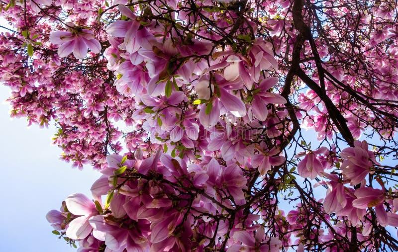 bloom magnoliowy drzewo zdjęcia royalty free