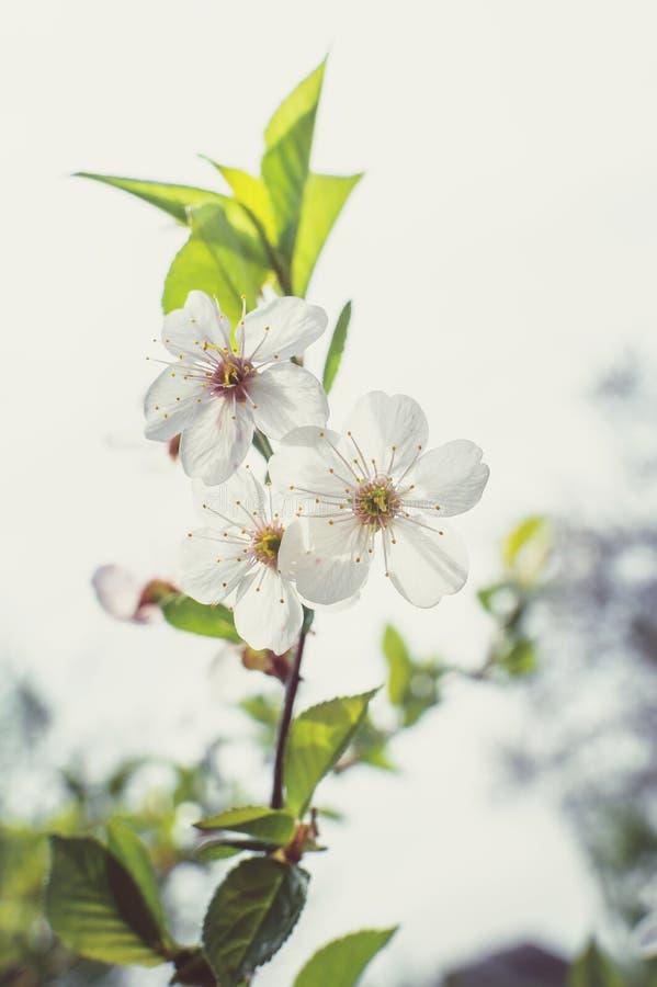 bloom ogród W górę kwiatów czereśniowych na drzewie przeciw tła pojęcia kwiatu wiosna biały żółtym potomstwom miękkie ogniska, obraz stock