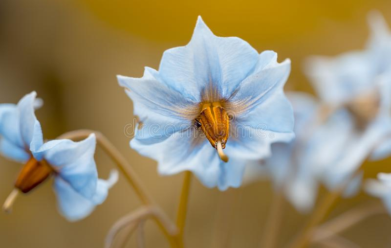 Bloom of the potato `Blue Swede`. Macro of blue soft bloom of the potato `Blue Swede stock photos