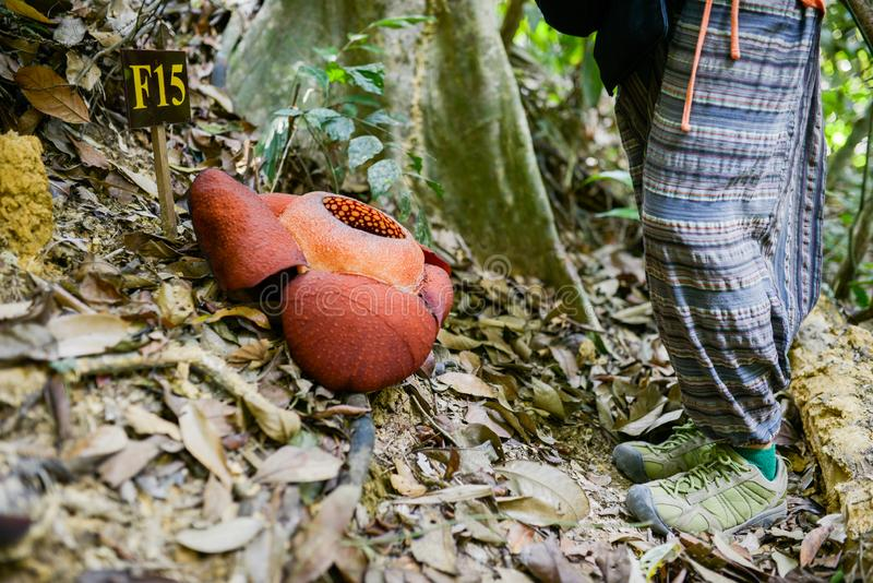 Rafflesia flower, nature conservation in the national park royalty free stock photography