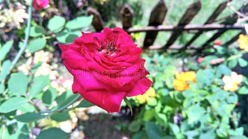 Bloom Red rose at the backyard stock images