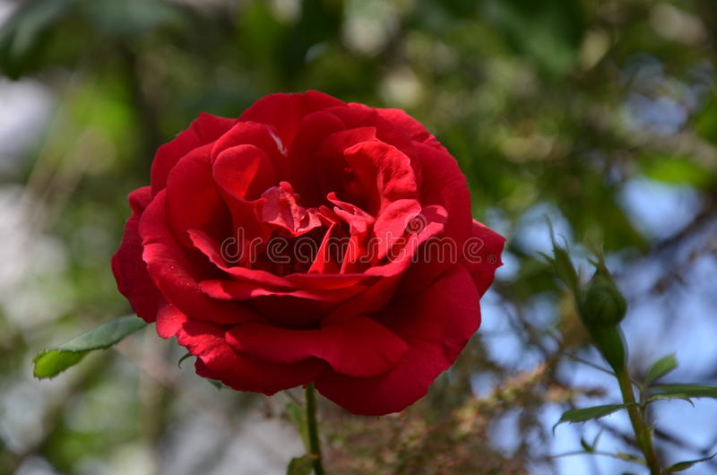 Bloom of red rose. royalty free stock photo