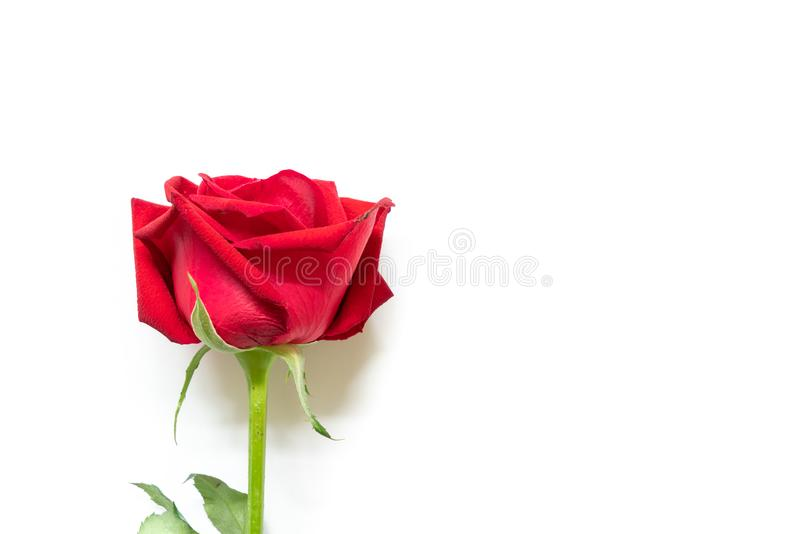 Bloom red rose on white background. Bloom red rose isolated on white background royalty free stock photography
