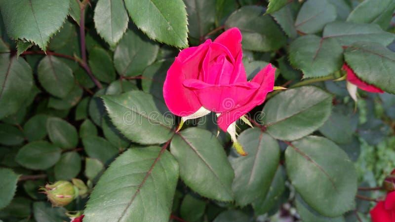 Young rose stock photos