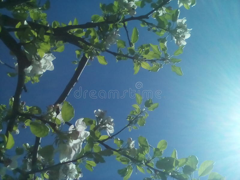 Bloom for the Sun. Tree in the spring blooms royalty free stock images
