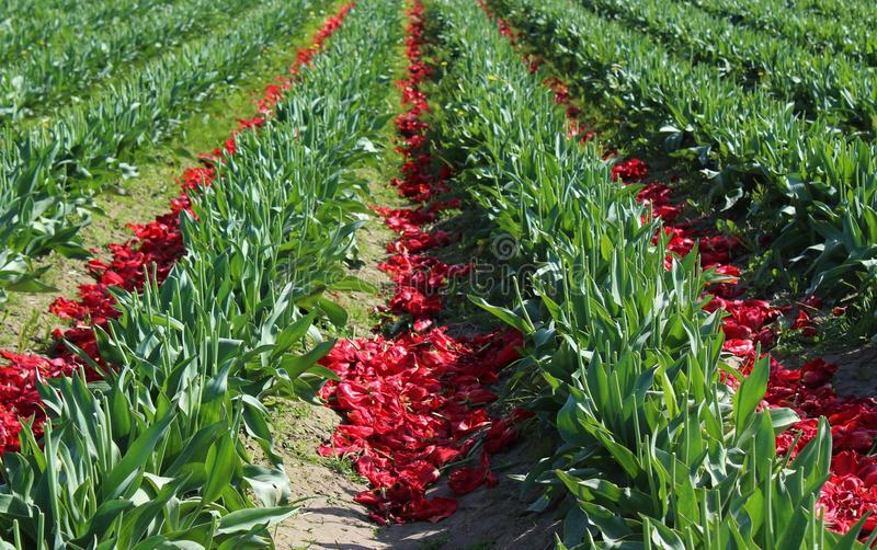 After the bloom. Tulip blooms are discarded to benefit the bulbs for next season stock image