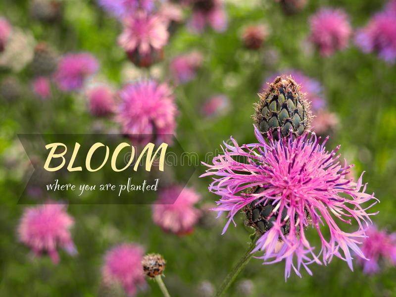 Bloom where you are planted - inspirational motivation quote. Purple flower knapweed blooming in the meadow. Medical plant Centaurea jacea. Good vibes and royalty free stock image