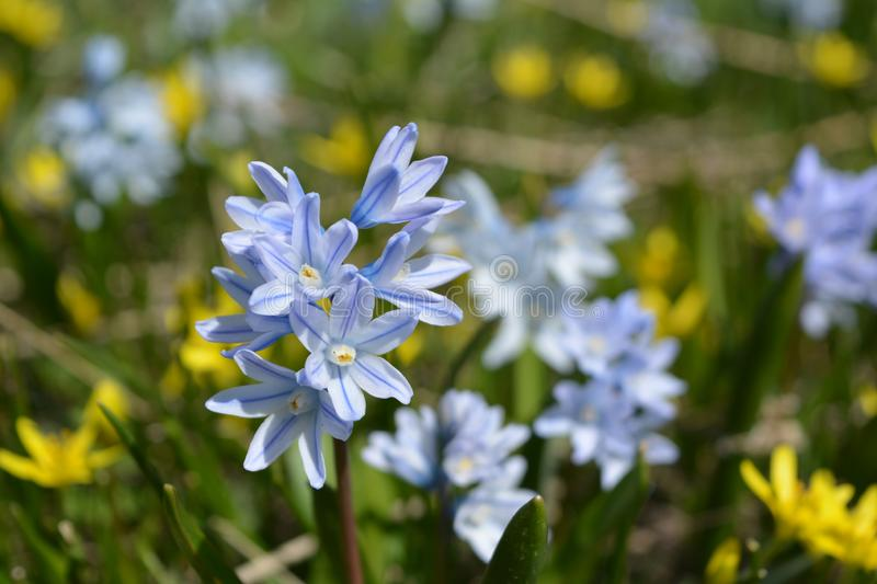 Bloom of wild blue hyacinths near the ruins of Amberd Fortress in spring in Armenia royalty free stock photos