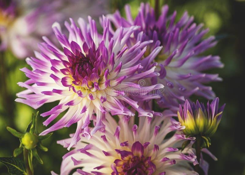Bloom z Dahlias zdjęcie royalty free